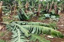Plusieurs bananiers saccagés sur une exploitation située au quartier Presqu'île à Saint-Joseph