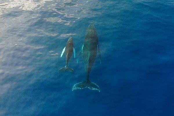 Baleine et son baleineau septembre 2018