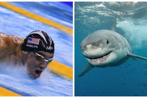 Phelps requin blanc