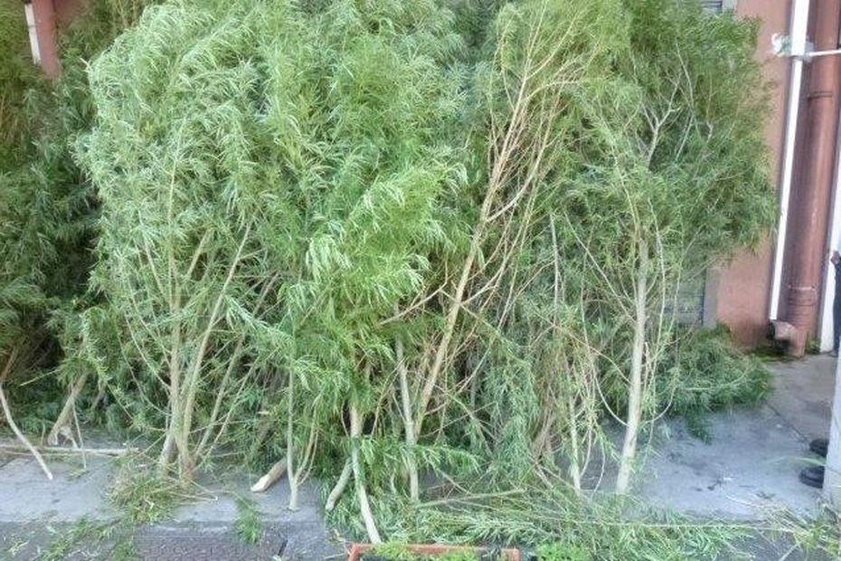 Saint-André : la police saisit une centaine de pieds de zamal dans des jardins - Réunion la 1ère