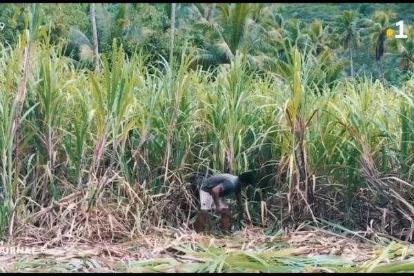 A la découverte de la canne à sucre de Taha'a