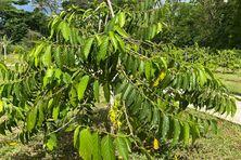 La filière de l'ylang-ylang est en restructuration.