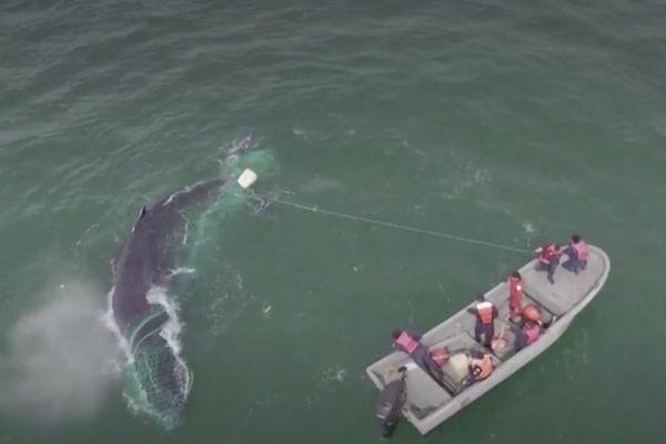 baleine sauvée par Sea Shepard