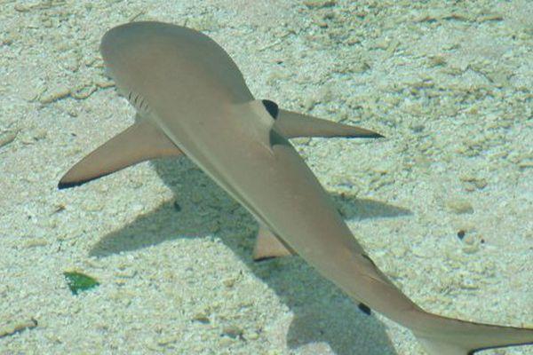 Les eaux polynésiennes, un sanctuaire pour les requins
