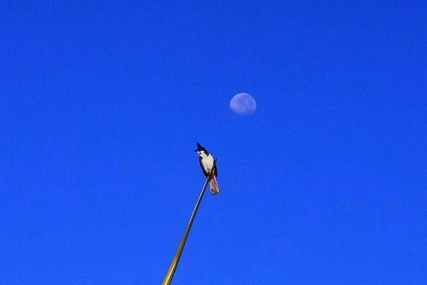Merle Maurice dans le ciel bleu de La Réunion février 2021