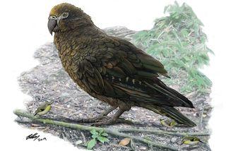 Nouvelle-Zélande perroquet géant Hercule
