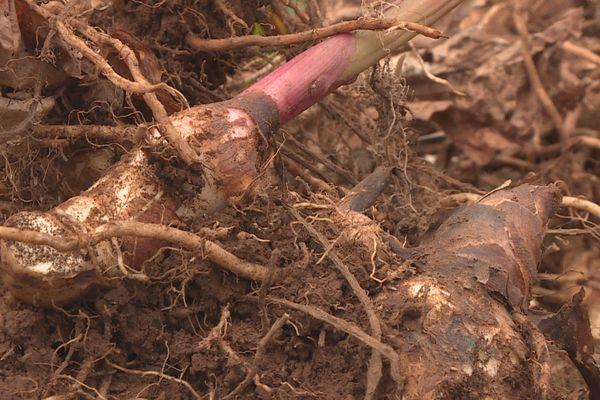 rhizomes de conflore