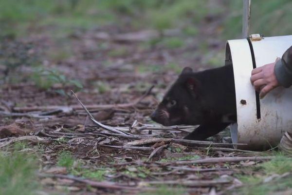 Réintroduction diable Tasmanie