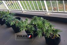 Les policiers ont mis à jour une cannabiculture chez un particulier à Saint-Denis