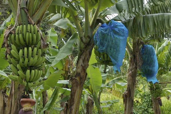 banane protégée
