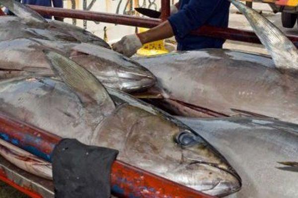 Des pêcheurs déchargent du thon aux Palau