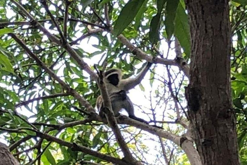Fin tragique pour le singe à Mayotte