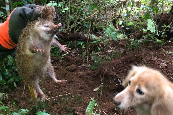 La chasse aux tangues s'est ouverte ce samedi 16 février.