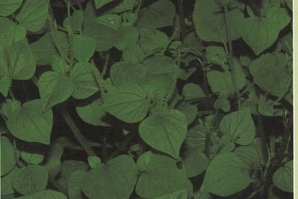 Plante médicinale guyanaise: la salade soda
