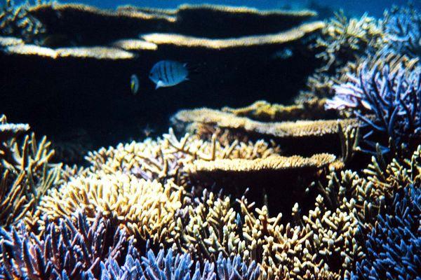 Des poissons dans le lagon de Nouvelle-Calédonie