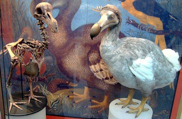 Dodo au Muséum national d'histoire naturelle d'Oxford