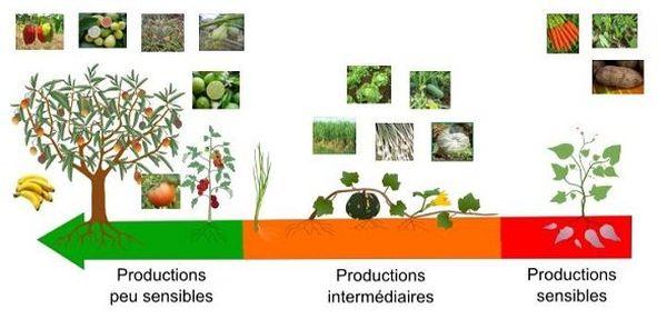 Les plantes cultivées réagissent différemment à la chlordécone selon si elles sont près ou loin du sol