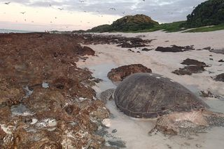 Tortues aux Chesterfield