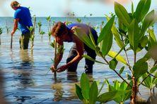 A Cuba, 11.000 hectares de mangrove seront réhabilités.