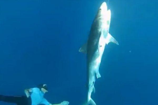 Marquage de requin CAPREQUINS
