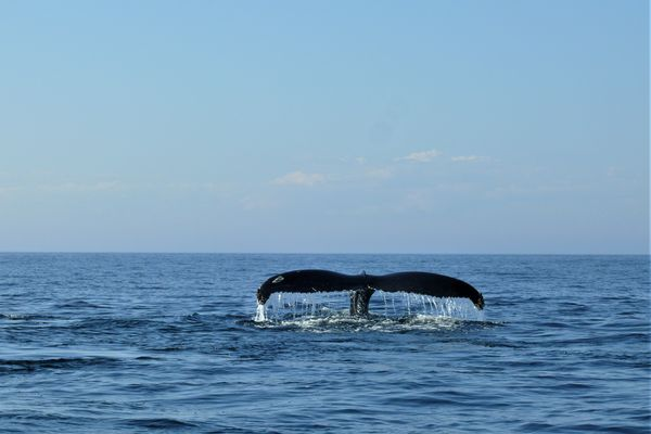 Des baleines à Bora Bora, un bébé otarie à Raivavae