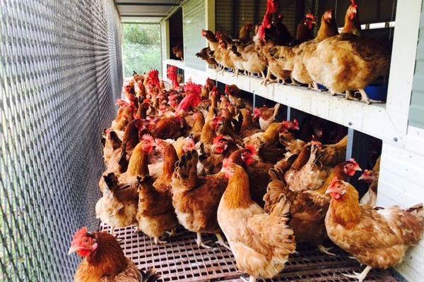 Poules et coqs reproducteurs au couvoir de Wagap, décembre 2019