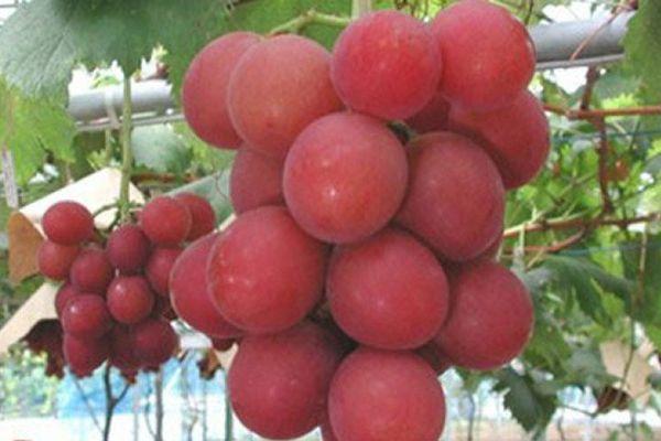 Japon: 1 1193 300 la grappe de raisin !