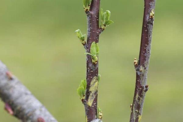 greffe plante