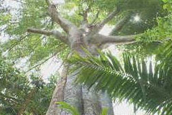arbres de la forêt guadeloupéenne