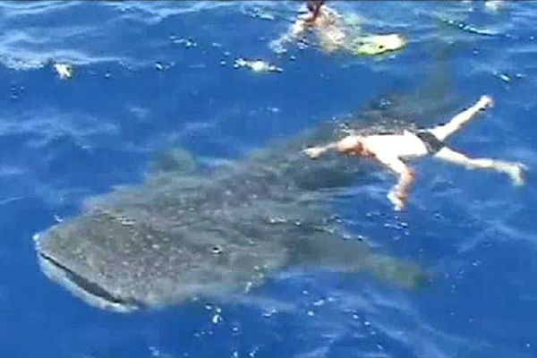 Un requin baleine en baie de Saint-Paul