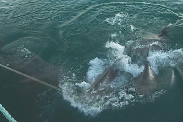 Des requins boueldog ont l'habitude de se nourrir près du quai des pécheurs de Nouville