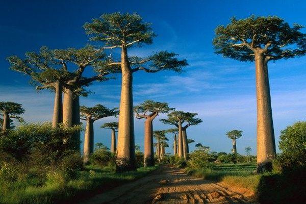 La célèbre allée de baobabs de Morondava à Madagascar