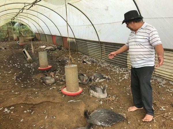 Sainte-Marie Piton fougères volailles attaque chiens errants auberge 250519