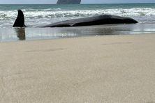 Échouage d'une baleine à bec sur la plage du Diamant dans la nuit du 22 au 23 octobre 2021.