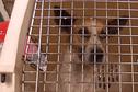 Des propriétaires de chiens dangereux devant les tribunaux