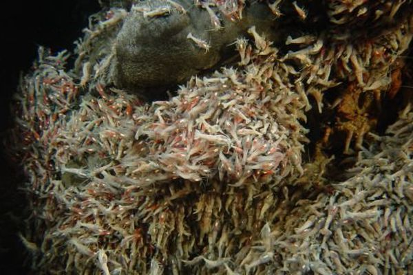 Crevette Rimicaris exoculata