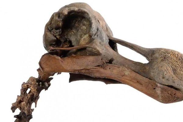 Squelette de dodo vendu 400 000 euros