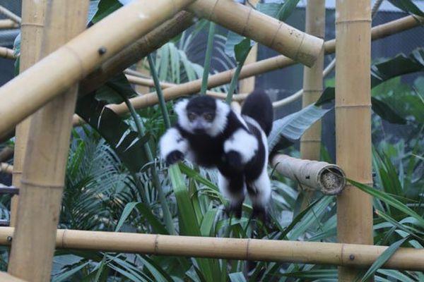 Un lémurien en plein élan
