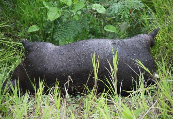 Un cochon en pleine décomposition au bord de la route