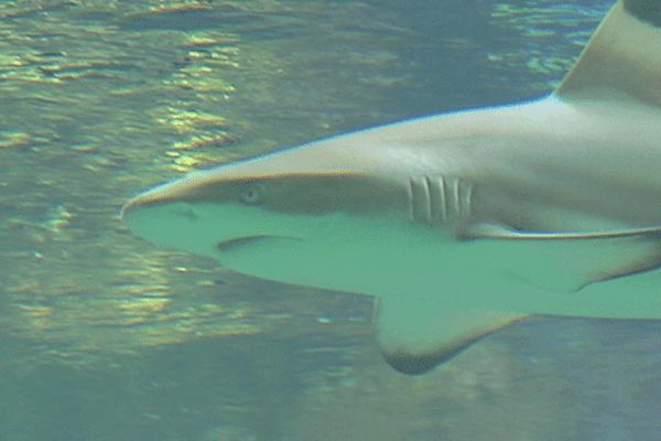 Bébés Requins en Nouvelle-Calédonie