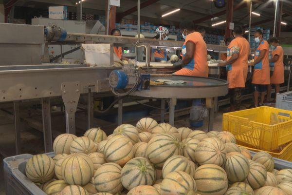 melon à l'export