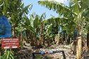 Pollution aux Antilles: lancement d'un quatrième plan chlordécone