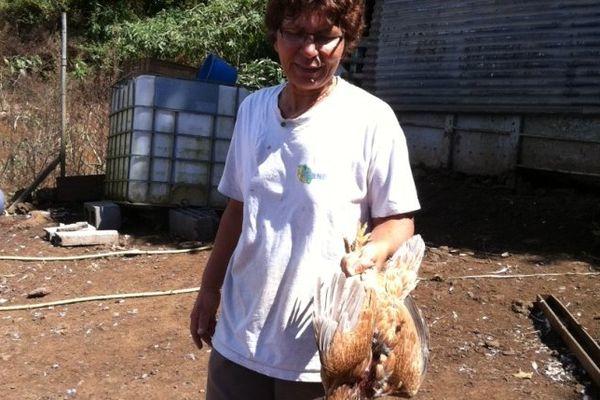 Poules tuées par chiens errants