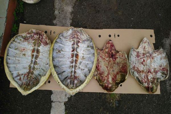Tortues carapaces