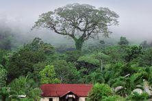 L'arbre fromager de Aül dans la brume du petit matin