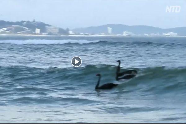 En Australie, même les cygnes font du surf