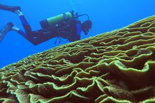 Corail feuille turbinaria, forêt du Snark