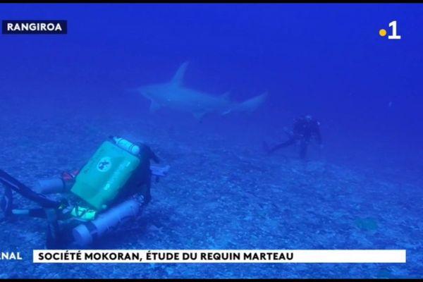 Les requins-marteaux de Rangiroa intéressent les scientifiques