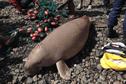 Capturé par un pêcheur, l'un des derniers dugongs de Mayotte est mort