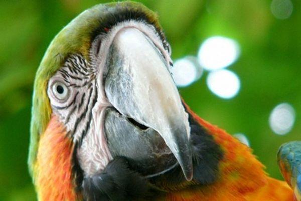 Un meurtrier présumé arrêté grâce à un...perroquet